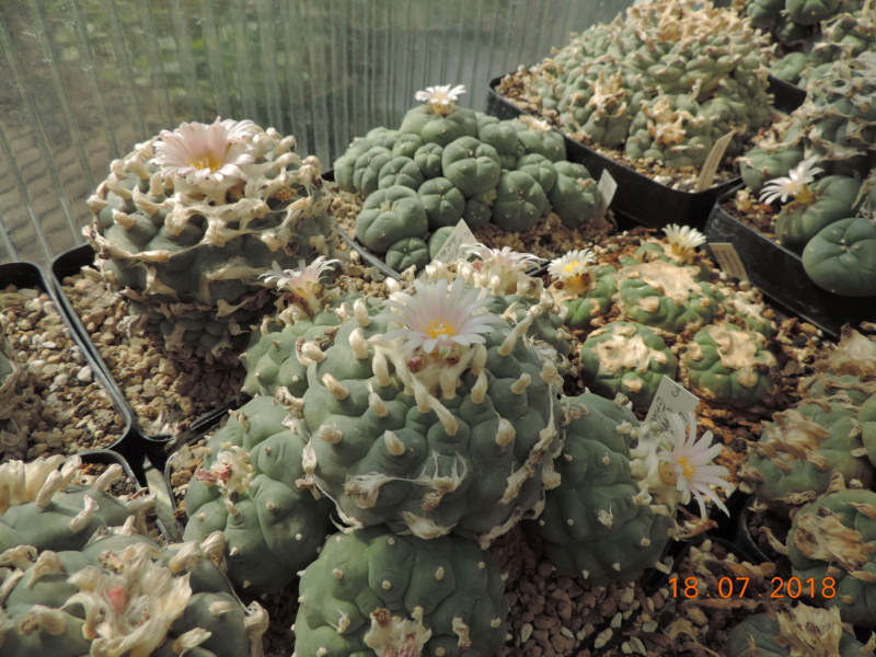 Cacti and Sukkulent in Köln, every day new flowers in the greenhouse Part 196 Bild_652