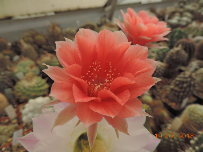 Cacti and Sukkulent in Köln, every day new flowers in the greenhouse Part 196 Bild_655