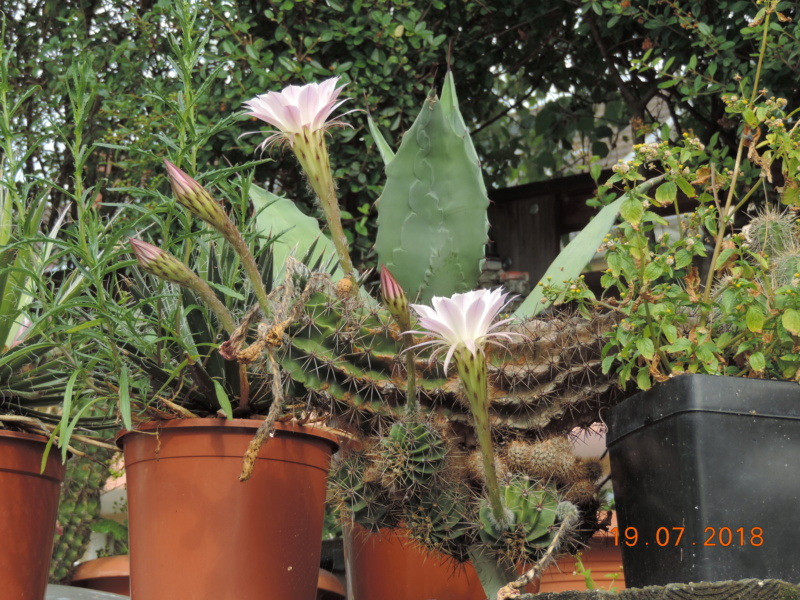 Cacti and Sukkulent in Köln, every day new flowers in the greenhouse Part 196 Bild_656