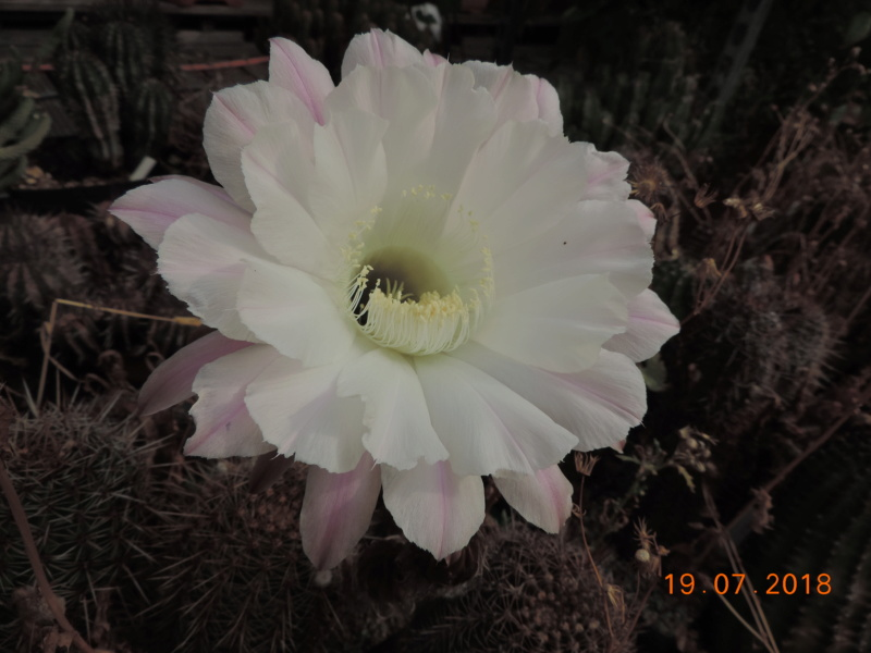 Cacti and Sukkulent in Köln, every day new flowers in the greenhouse Part 196 Bild_657