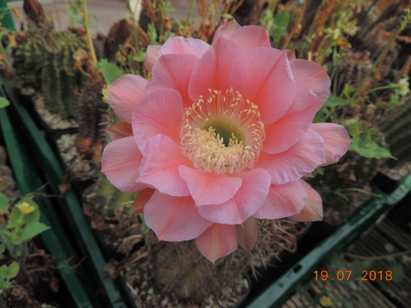 Cacti and Sukkulent in Köln, every day new flowers in the greenhouse Part 196 Bild_658