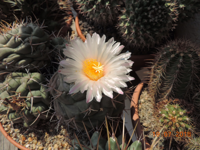 Cacti and Sukkulent in Köln, every day new flowers in the greenhouse Part 196 Bild_661