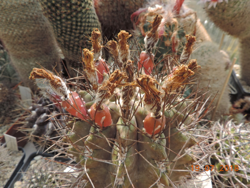 Cacti and Sukkulent in Köln, every day new flowers in the greenhouse Part 196 Bild_668