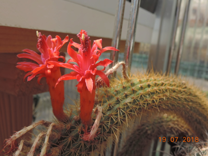 Cacti and Sukkulent in Köln, every day new flowers in the greenhouse Part 196 Bild_670