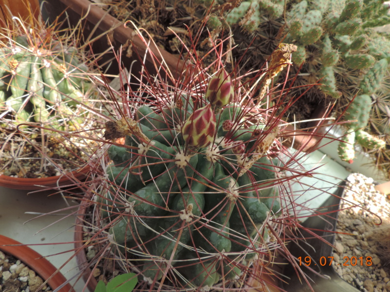 Cacti and Sukkulent in Köln, every day new flowers in the greenhouse Part 196 Bild_671