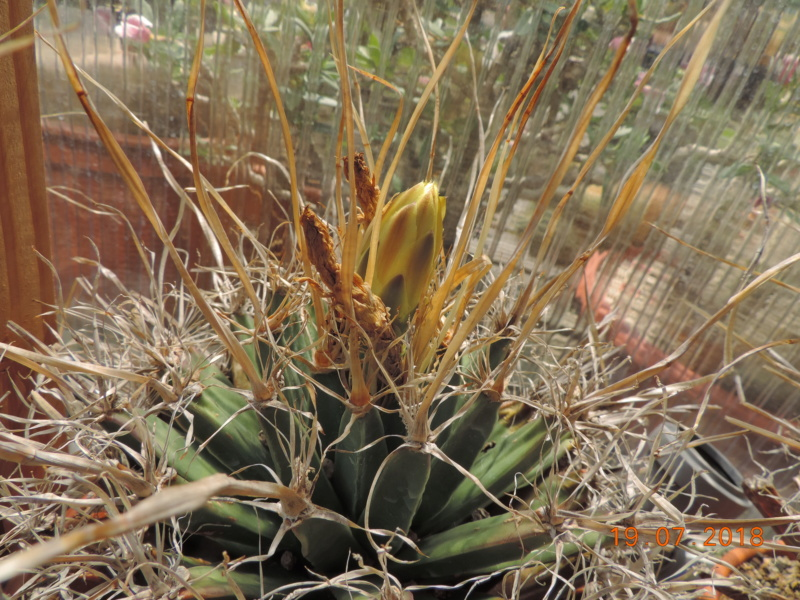 Cacti and Sukkulent in Köln, every day new flowers in the greenhouse Part 196 Bild_672