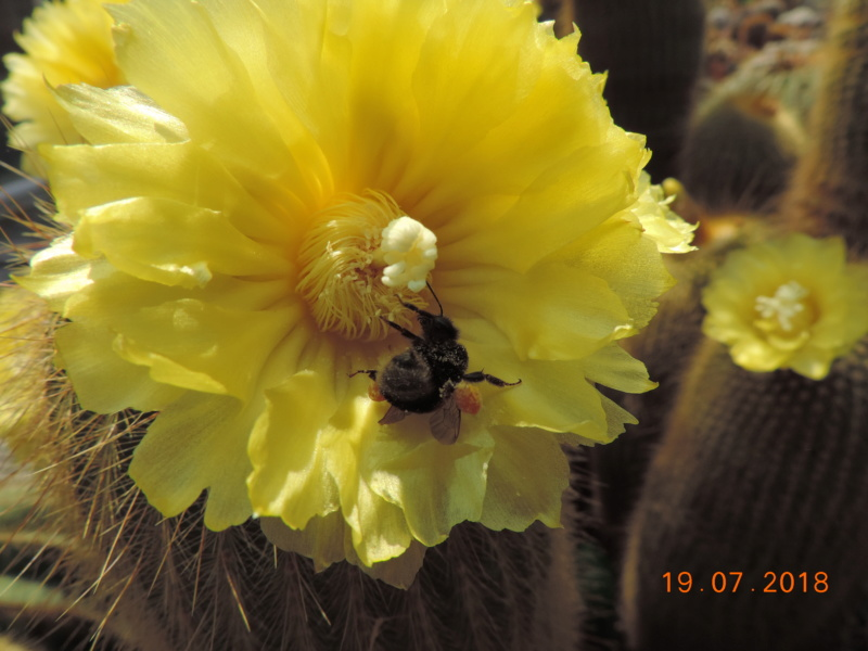 Cacti and Sukkulent in Köln, every day new flowers in the greenhouse Part 196 Bild_675