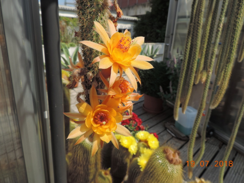 Cacti and Sukkulent in Köln, every day new flowers in the greenhouse Part 196 Bild_686