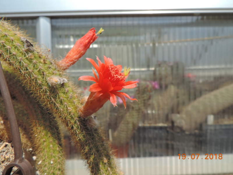 Cacti and Sukkulent in Köln, every day new flowers in the greenhouse Part 196 Bild_687