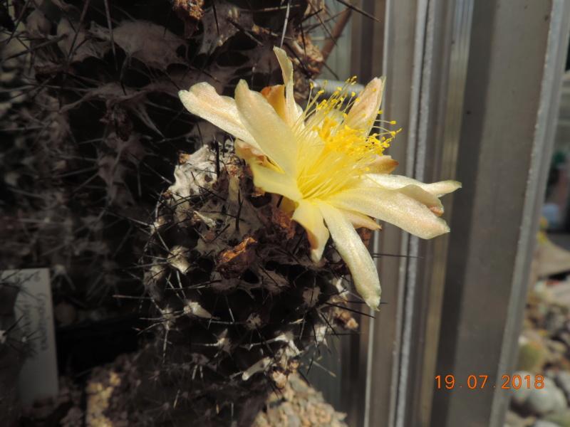 Cacti and Sukkulent in Köln, every day new flowers in the greenhouse Part 196 Bild_689