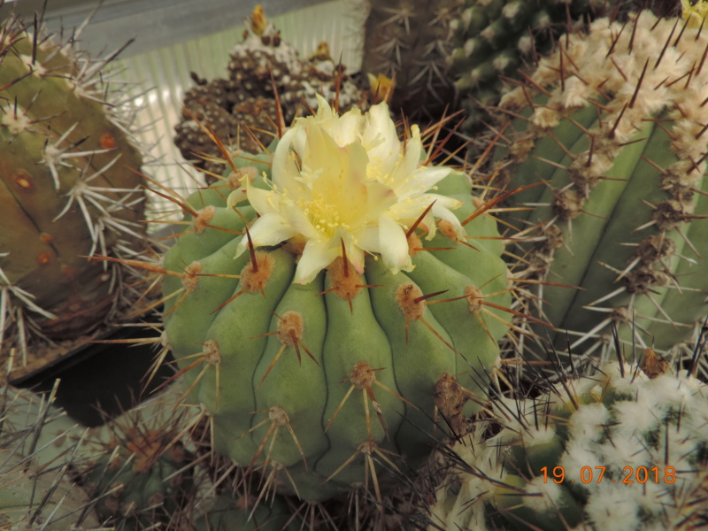 Cacti and Sukkulent in Köln, every day new flowers in the greenhouse Part 196 Bild_690