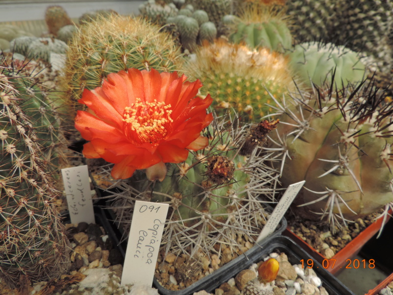 Cacti and Sukkulent in Köln, every day new flowers in the greenhouse Part 196 Bild_694