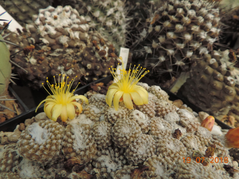 Cacti and Sukkulent in Köln, every day new flowers in the greenhouse Part 196 Bild_695