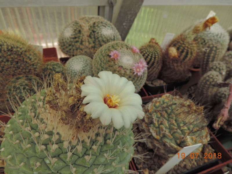 Cacti and Sukkulent in Köln, every day new flowers in the greenhouse Part 196 Bild_697