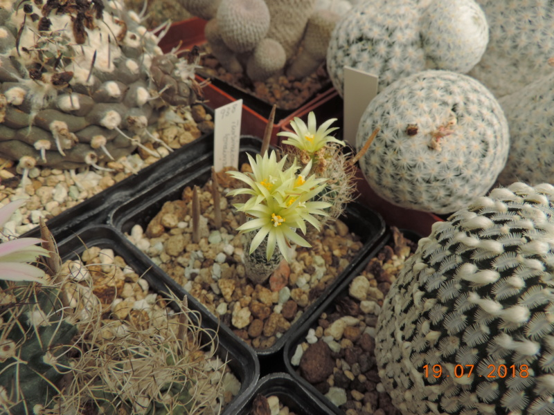 Cacti and Sukkulent in Köln, every day new flowers in the greenhouse Part 196 Bild_699