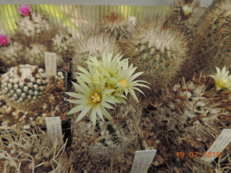 Cacti and Sukkulent in Köln, every day new flowers in the greenhouse Part 196 Bild_700