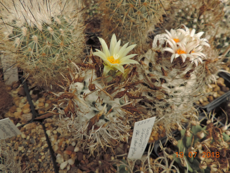 Cacti and Sukkulent in Köln, every day new flowers in the greenhouse Part 196 Bild_701