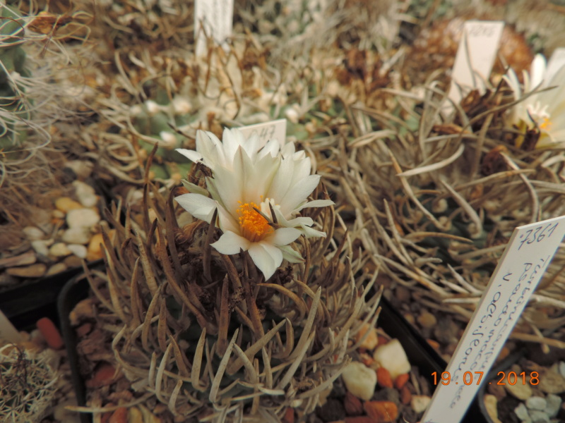 Cacti and Sukkulent in Köln, every day new flowers in the greenhouse Part 196 Bild_703