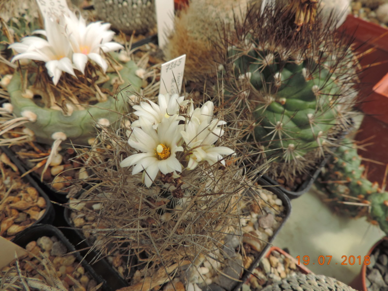 Cacti and Sukkulent in Köln, every day new flowers in the greenhouse Part 196 Bild_706