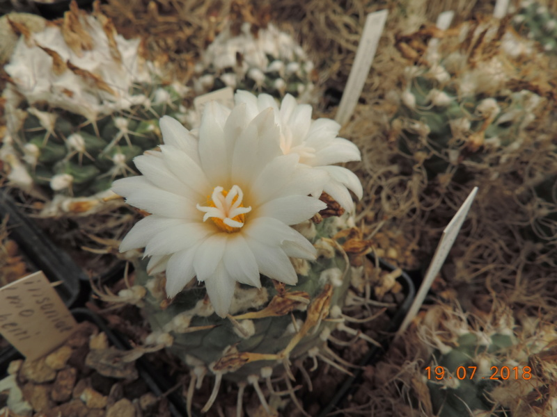 Cacti and Sukkulent in Köln, every day new flowers in the greenhouse Part 196 Bild_718