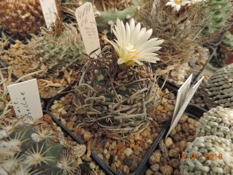 Cacti and Sukkulent in Köln, every day new flowers in the greenhouse Part 196 Bild_721