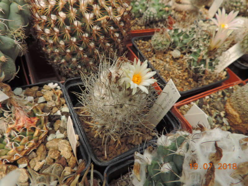 Cacti and Sukkulent in Köln, every day new flowers in the greenhouse Part 196 Bild_722