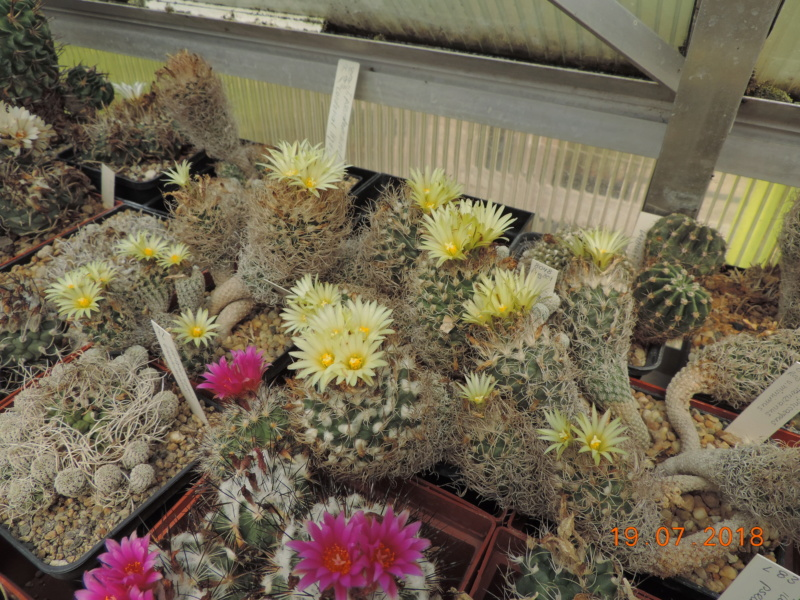 Cacti and Sukkulent in Köln, every day new flowers in the greenhouse Part 196 Bild_724