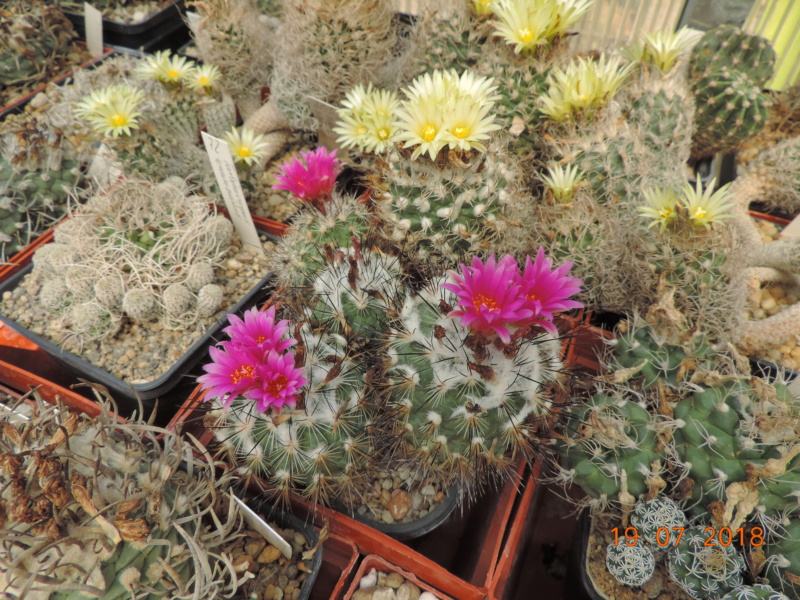 Cacti and Sukkulent in Köln, every day new flowers in the greenhouse Part 196 Bild_725
