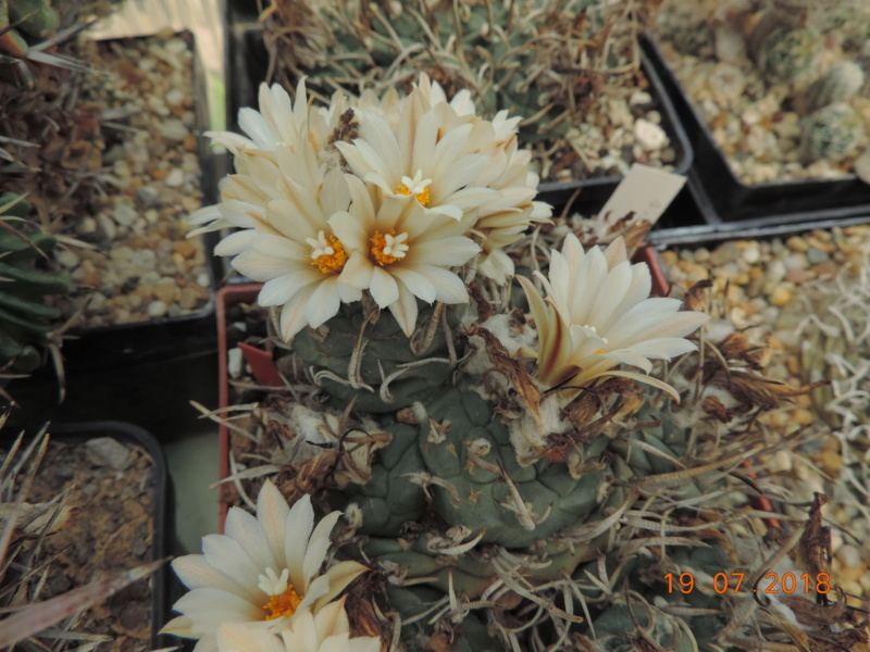 Cacti and Sukkulent in Köln, every day new flowers in the greenhouse Part 196 Bild_727