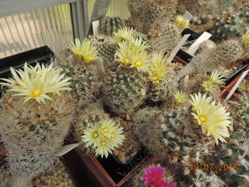 Cacti and Sukkulent in Köln, every day new flowers in the greenhouse Part 196 Bild_728
