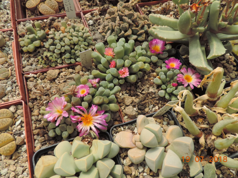 Cacti and Sukkulent in Köln, every day new flowers in the greenhouse Part 196 Bild_731