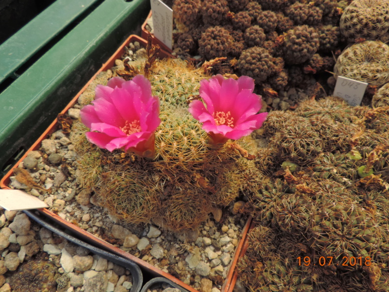 Cacti and Sukkulent in Köln, every day new flowers in the greenhouse Part 196 Bild_732