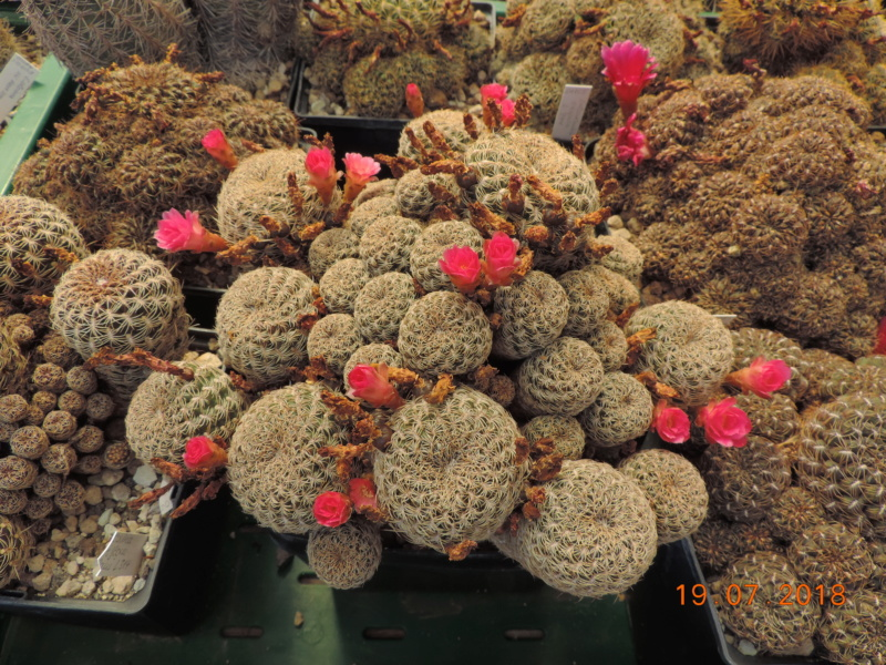 Cacti and Sukkulent in Köln, every day new flowers in the greenhouse Part 196 Bild_733