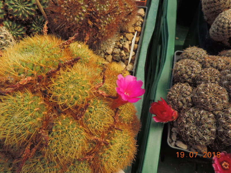 Cacti and Sukkulent in Köln, every day new flowers in the greenhouse Part 196 Bild_734