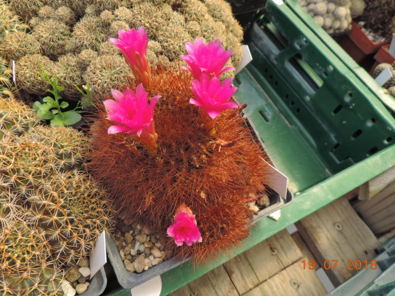 Cacti and Sukkulent in Köln, every day new flowers in the greenhouse Part 196 Bild_735