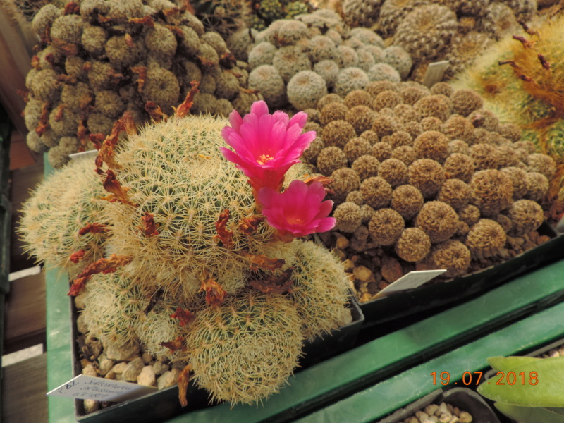 Cacti and Sukkulent in Köln, every day new flowers in the greenhouse Part 196 Bild_736