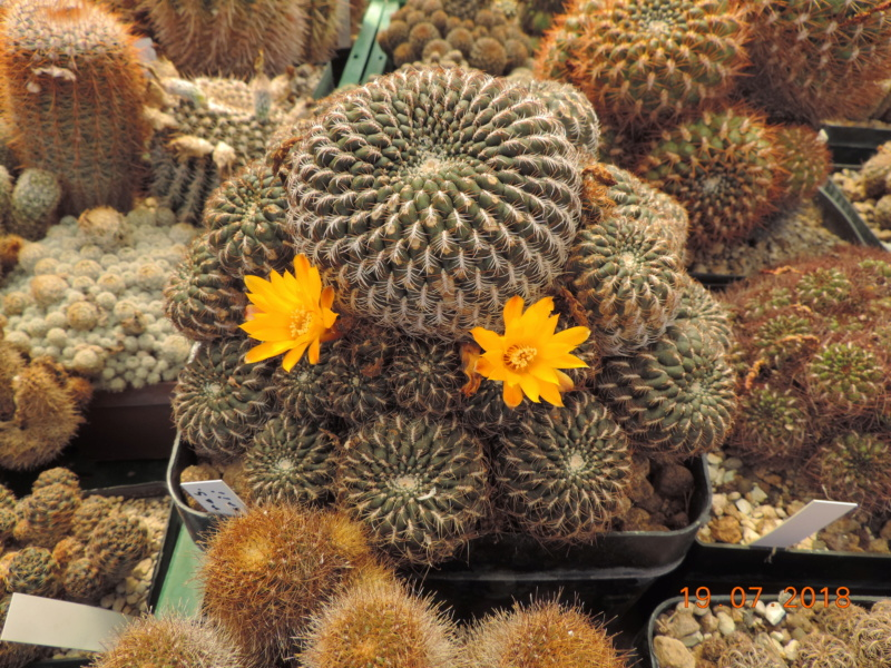 Cacti and Sukkulent in Köln, every day new flowers in the greenhouse Part 196 Bild_737