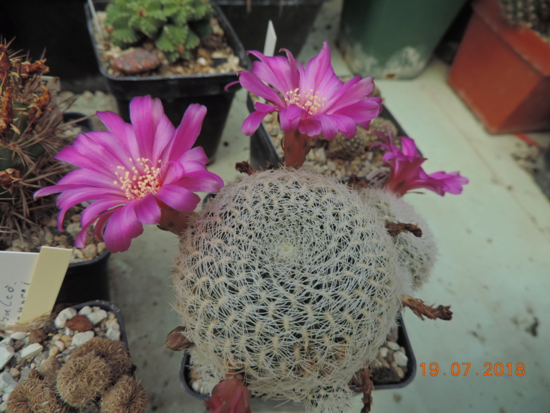 Cacti and Sukkulent in Köln, every day new flowers in the greenhouse Part 196 Bild_738