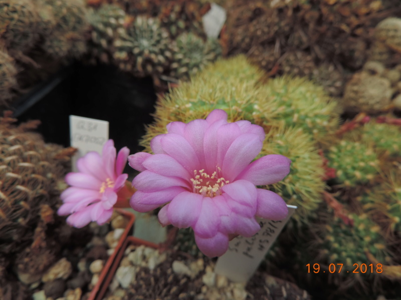 Cacti and Sukkulent in Köln, every day new flowers in the greenhouse Part 196 Bild_739