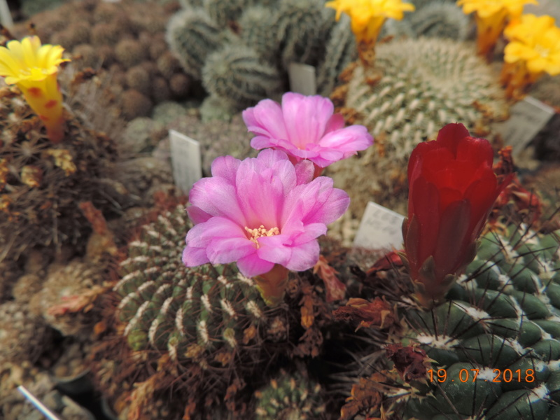 Cacti and Sukkulent in Köln, every day new flowers in the greenhouse Part 196 Bild_741