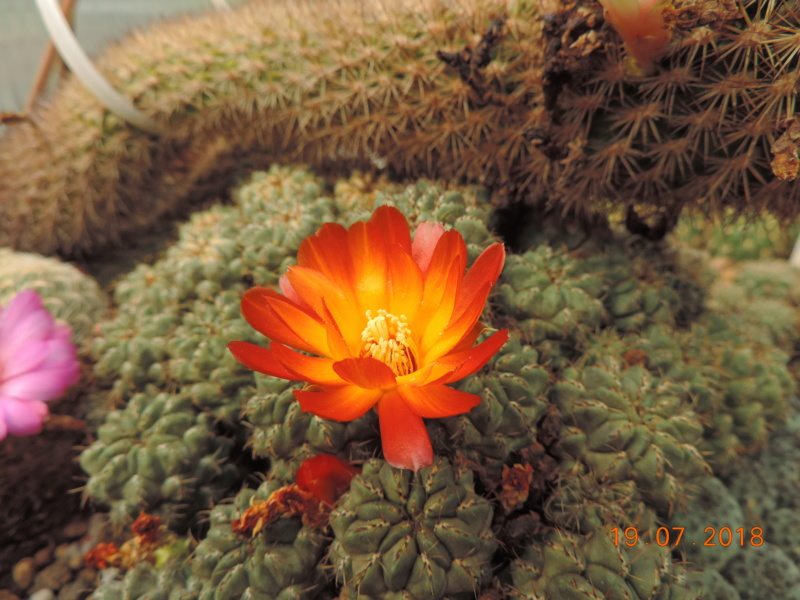 Cacti and Sukkulent in Köln, every day new flowers in the greenhouse Part 196 Bild_745