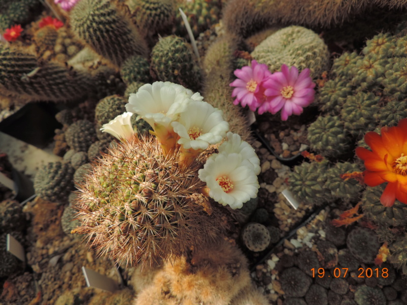 Cacti and Sukkulent in Köln, every day new flowers in the greenhouse Part 196 Bild_747