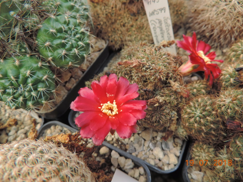 Cacti and Sukkulent in Köln, every day new flowers in the greenhouse Part 196 Bild_749