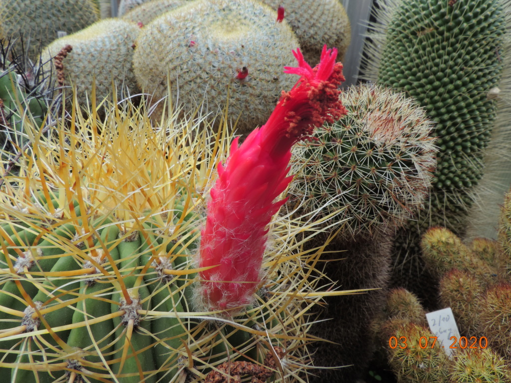 Cacti and Sukkulent in Köln, every day new flowers in the greenhouse Part 237 Bild_810