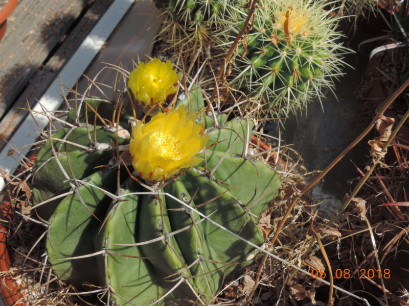 Cacti and Sukkulent in Köln, every day new flowers in the greenhouse Part 198 Bild_976