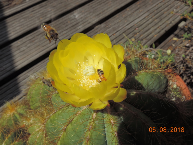 Cacti and Sukkulent in Köln, every day new flowers in the greenhouse Part 198 Bild_985