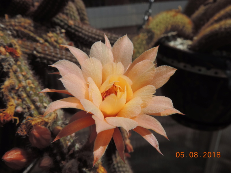 Cacti and Sukkulent in Köln, every day new flowers in the greenhouse Part 198 Bild_990