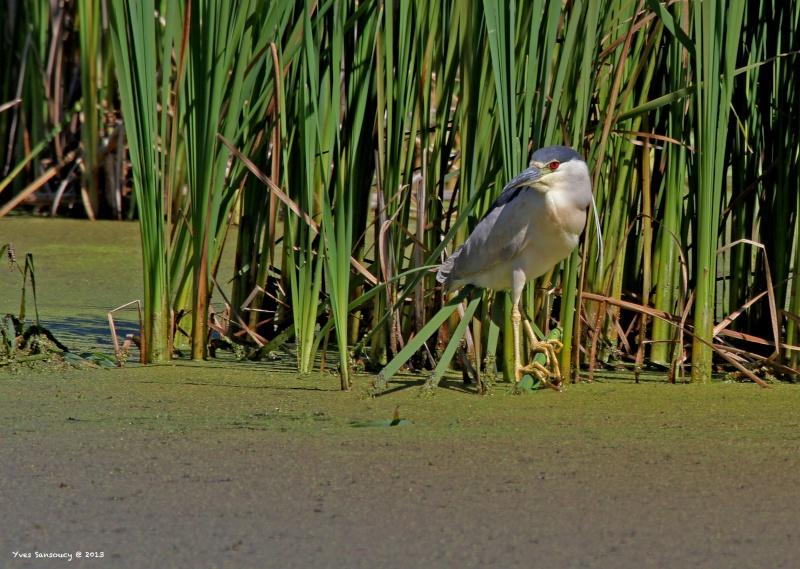 Bihoreau Gris .Black-crowned Night Heron Img_3511