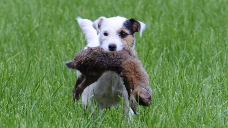 Ehlbeck-LK Amelinghausen  Parson Russell Terrier Hündin vermisst 10906310