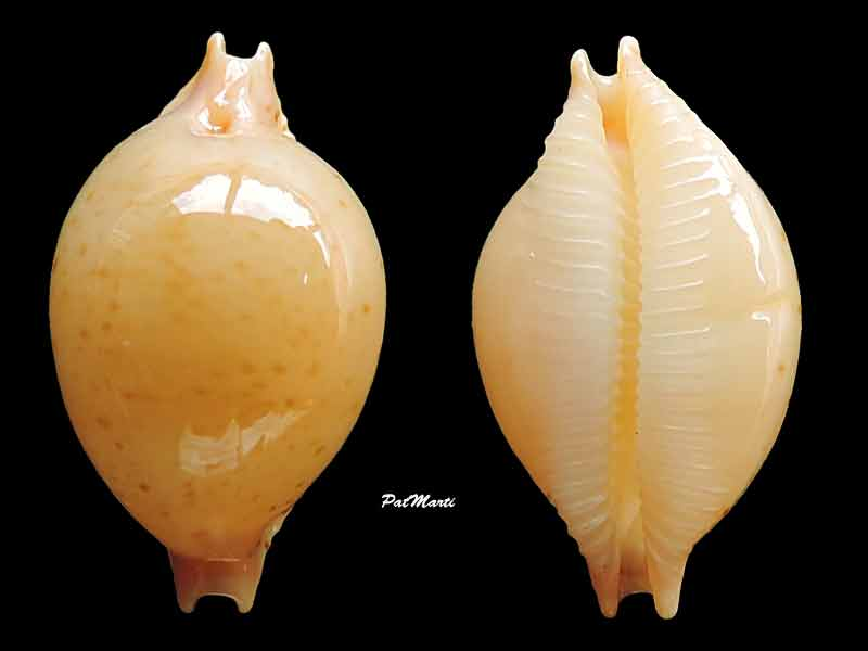 Pustularia cicercula takahashii - Moretzsohn, 2007 Cyp-ci10